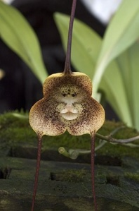 Dracula radiosa orchid